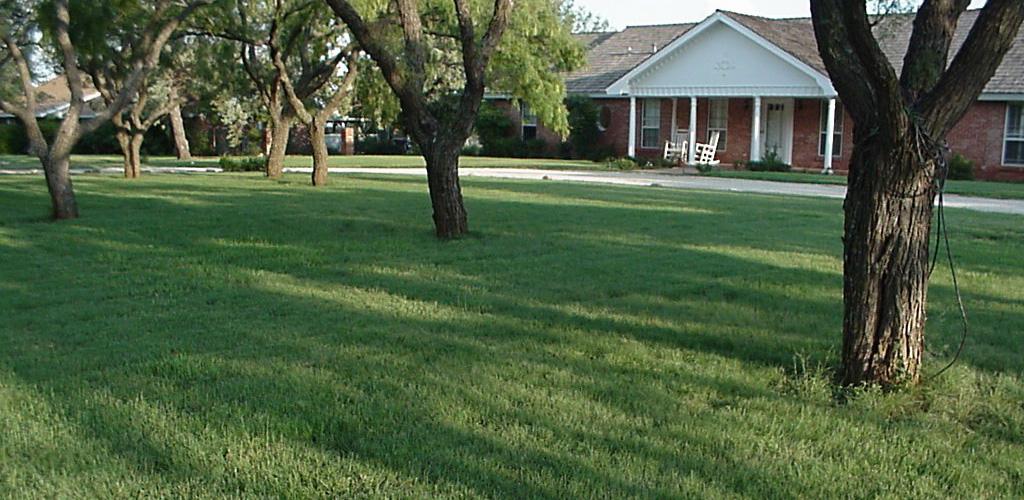 Using Buffalograss as a Lawn