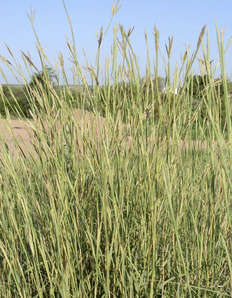 Big Bluestem: One of The Big Four Grasses