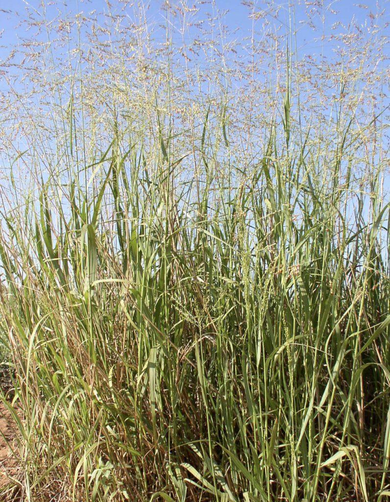 The Big Four: Switchgrass