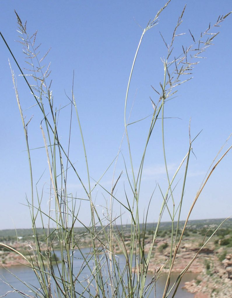 Species Spotlight: Sand Dropseed