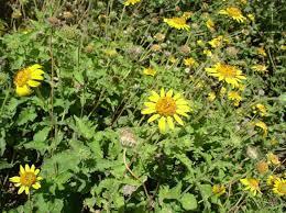Species Spotlight: Bush Sunflower