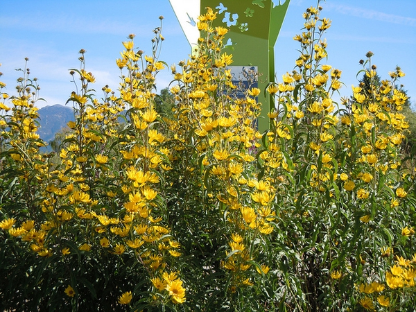 Maximilian Sunflower: Species Spotlight